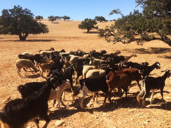 аргановые деревья в Марокко